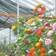 Greenhouse Pesticide Resistance Webinars: Insect and Disease Monitoring