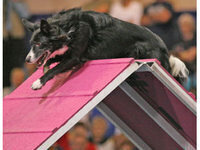 CDCA AKC Agility Dog Trial