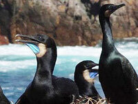 Restoration of Mexican Islands and Conservation of Birds