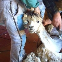 8th Annual Shearing Day