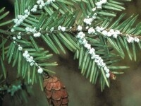 The Hemlock Wooly Adelgid: Film & Discussion