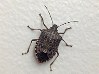Home Invasion: The Story of Overwintering Pests