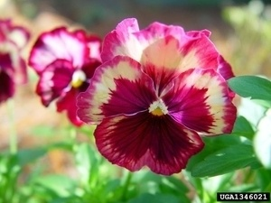 Lexington County FCL Fall Pansy, Viola, & Snapdragon Sale