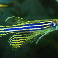 BES Seminar Series, Research on Zebrafish