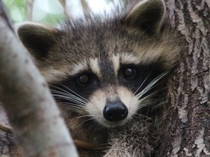 Forest Friends: Rascally Raccoons
