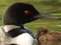 Unraveling the mysteries of the Common Loon