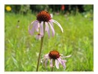 Studying the adaptive process in the wild: purple coneflower and partridge pea