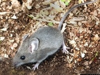 Rodentology and Pest Management