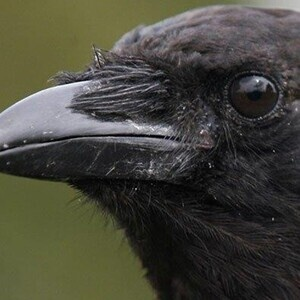 Biology Seminar: Ecological Traps, Disease, and Inbreeding Depression in Urban Crows