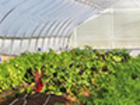 Greenhouse and High Tunnel Vegetable IPM Program: Weed management in greenhouses and high tunnels