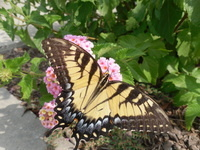 First Friday in the Garden: Butterfly Gardening