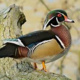 Creating Habitat for Wildlife: Wood Duck Boxes