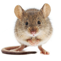 Antibody Drug Discovery and the AlivaMab Mouse