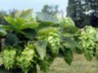 Hops IPM from Greenhouse to Field