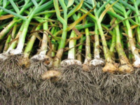 Growing Organic Garlic For Profit