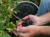 All About the Aronia Berry