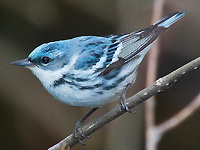 Singing the Blues: The Challenge of Conserving Cerulean Warblers