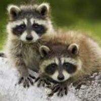 DiscoverE!: Raccoons