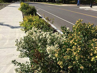 Shrubs and Ground Covers for Bioswales and Tough Sites