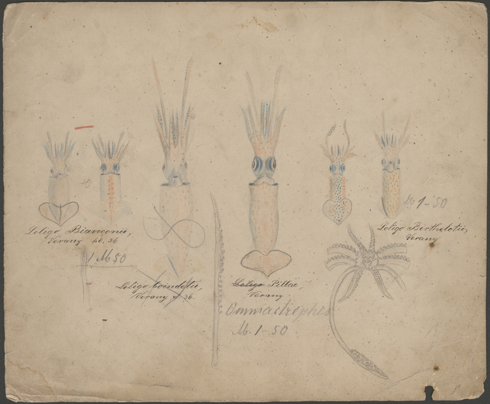 From the Darkness of the Sea: The Cornell Collection of Blaschka Glass Invertebrate Models