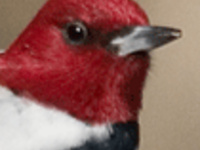 Save a Snag! Protecting habitat for Red-headed Woodpeckers.