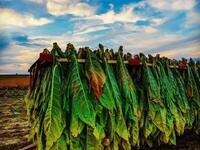 Tobacco Harvesting Teach-In - Canceled