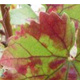 Grapevine Red Blotch Disease:  An Emerging Issue