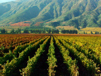"""Virus Discovery in the Vineyards of Chilean Valle Central"" by Lucy Romero Romero"