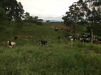Cows in Colombia