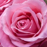 About A Dozen Things You Need To Grow Great Roses