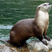 The River Otter and The Fisher