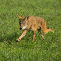 Sanctuary at Berry Lecture - Chris Mowry on Coyotes