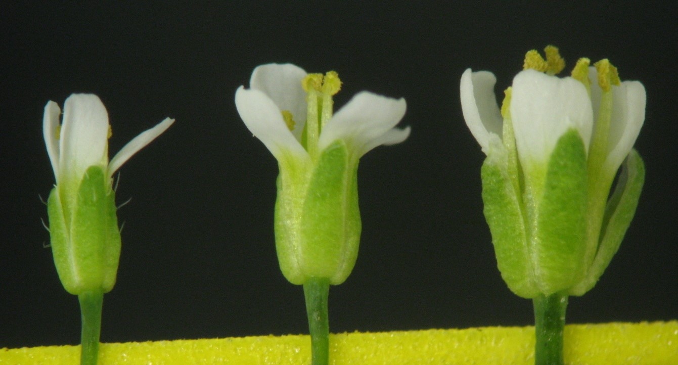 """Ploidy and size in the Arabidopsis sepal"" - Dana Robinson"