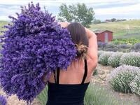 Preseason Opening @ Blue Mountain Lavender Farm