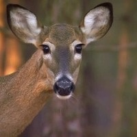 Private Life of a Deer