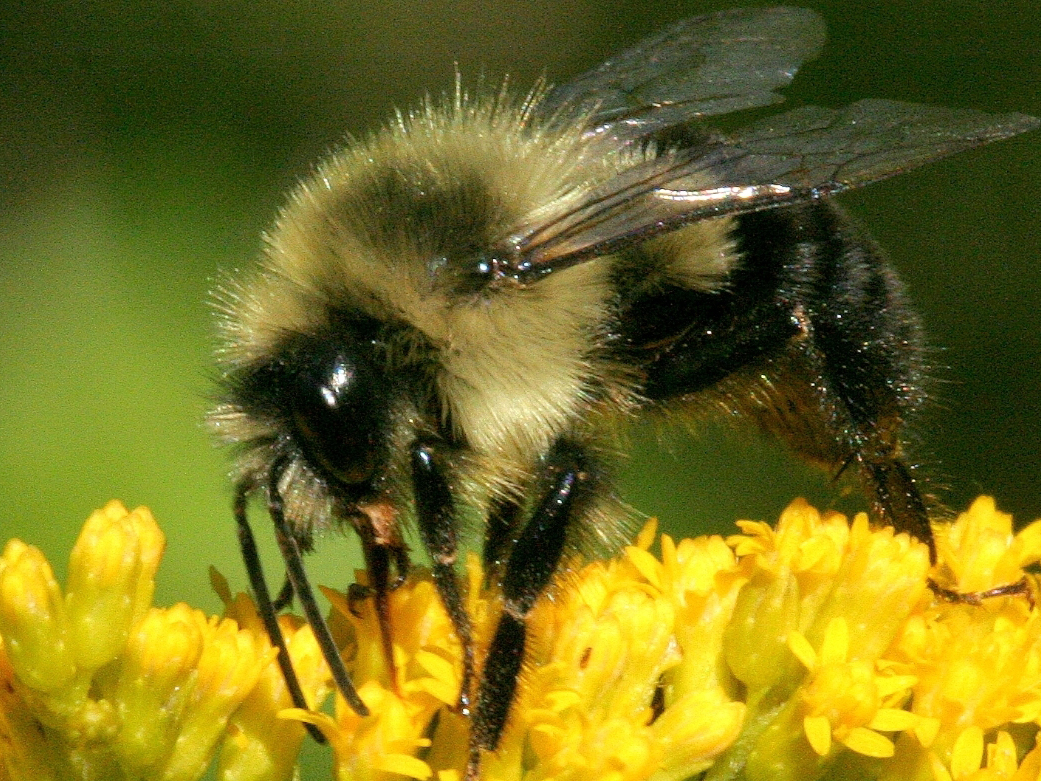 Liberty Hyde Bailey Lecture: The Buzz About Bees