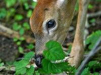 NO, Deer!  Plants for a Deer-Resistant Garden