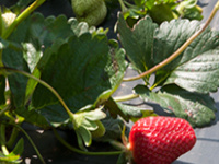 Strawberry Production Workshop