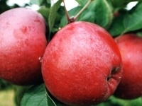 Calling All Bakers! First Cornell Orchards Store Apple Bake-Off