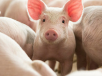 AASV Webinar - Diversity of a Swine Veterinarian