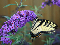 PLANTS FOR BUTTERFLIES AND OTHER POLLINATORS