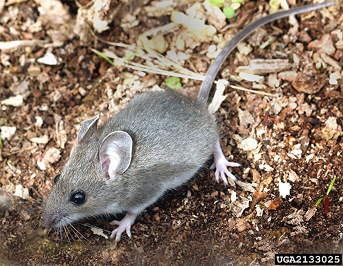Rodents II - Prevention and Control