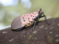 Spotted Lanternfly Basics for Christmas Tree Growers