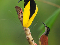 Monday Night Seminar: New Perspectives from the Birds-of-Paradise Project
