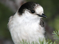 The Story of a Declining Gray Jay Population